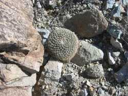 Mammillaria heyderi image