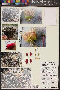 Mammillaria heyderi subsp. heyderi image
