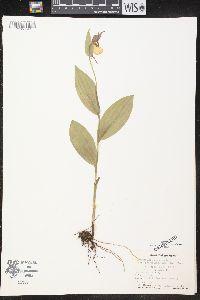 Cypripedium parviflorum var. parviflorum image