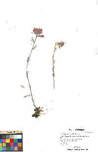 Castilleja coccinea image