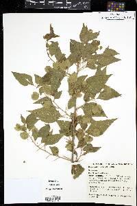 Image of Bougainvillea stipitata