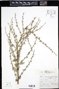 Verbascum sinuatum image