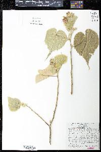 Image of Abutilon grandidentatum