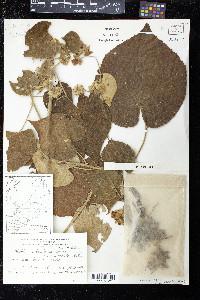 Abutilon umbelliflorum image