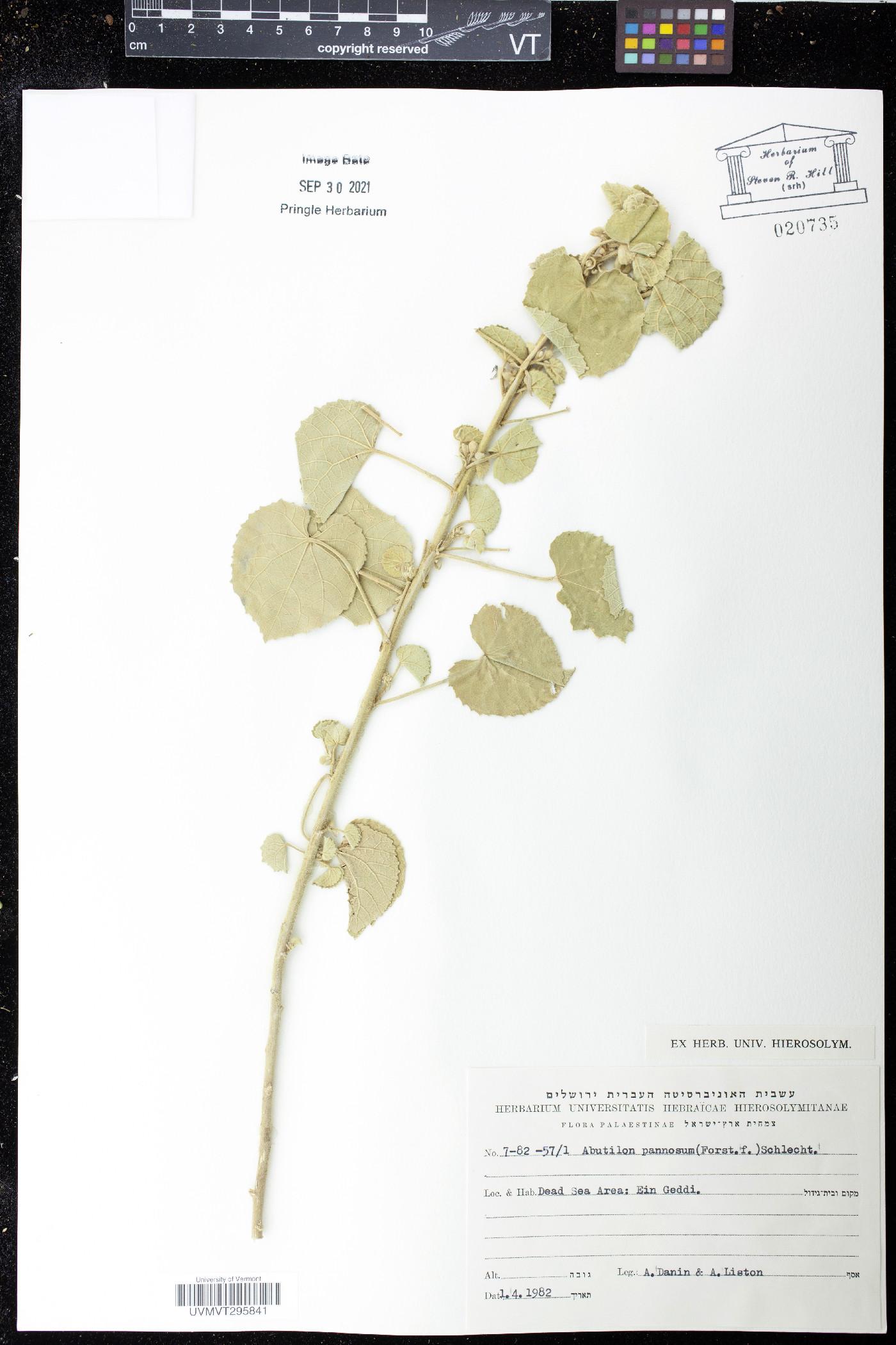 Abutilon pannosum image