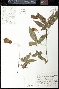Abutilon pictum image