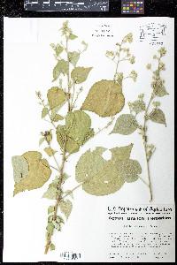 Abutilon stenopetalum image