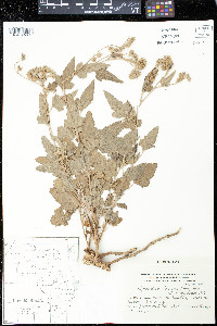 Image of Sphaeralcea brevipes