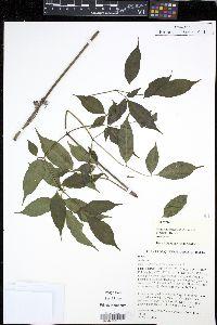 Image of Polyscias elegans